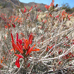 Chuparosa Bush in Indian Valley. The plants are cold and drought deciduous and are usually leafless.  Favored by hummingbirds for their sweet nectar