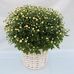Witte bolchrysant in witte wilgenmand