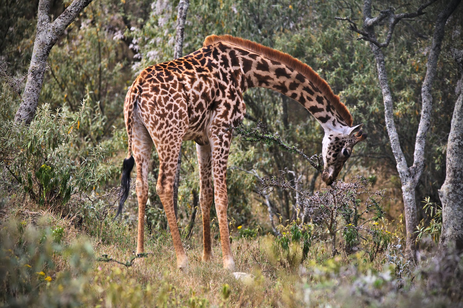 The first giraffe was hiding well in the woods