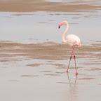 Glorious flamingo