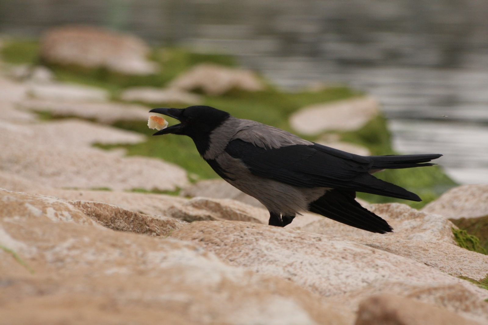 Hungry crow