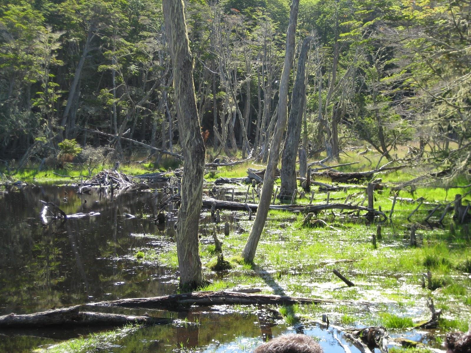 Beaver damage - flooded land, dead trees