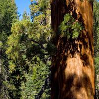 sequoia_15