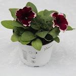 Petunia rood/wit