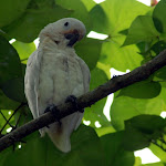 Some sort of parrot, not in the Asian field guide. Escaped pet? Pasir Ris mangrove swamp.