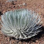 Haleakalā Silversword: a rare plant only found on Haleakala