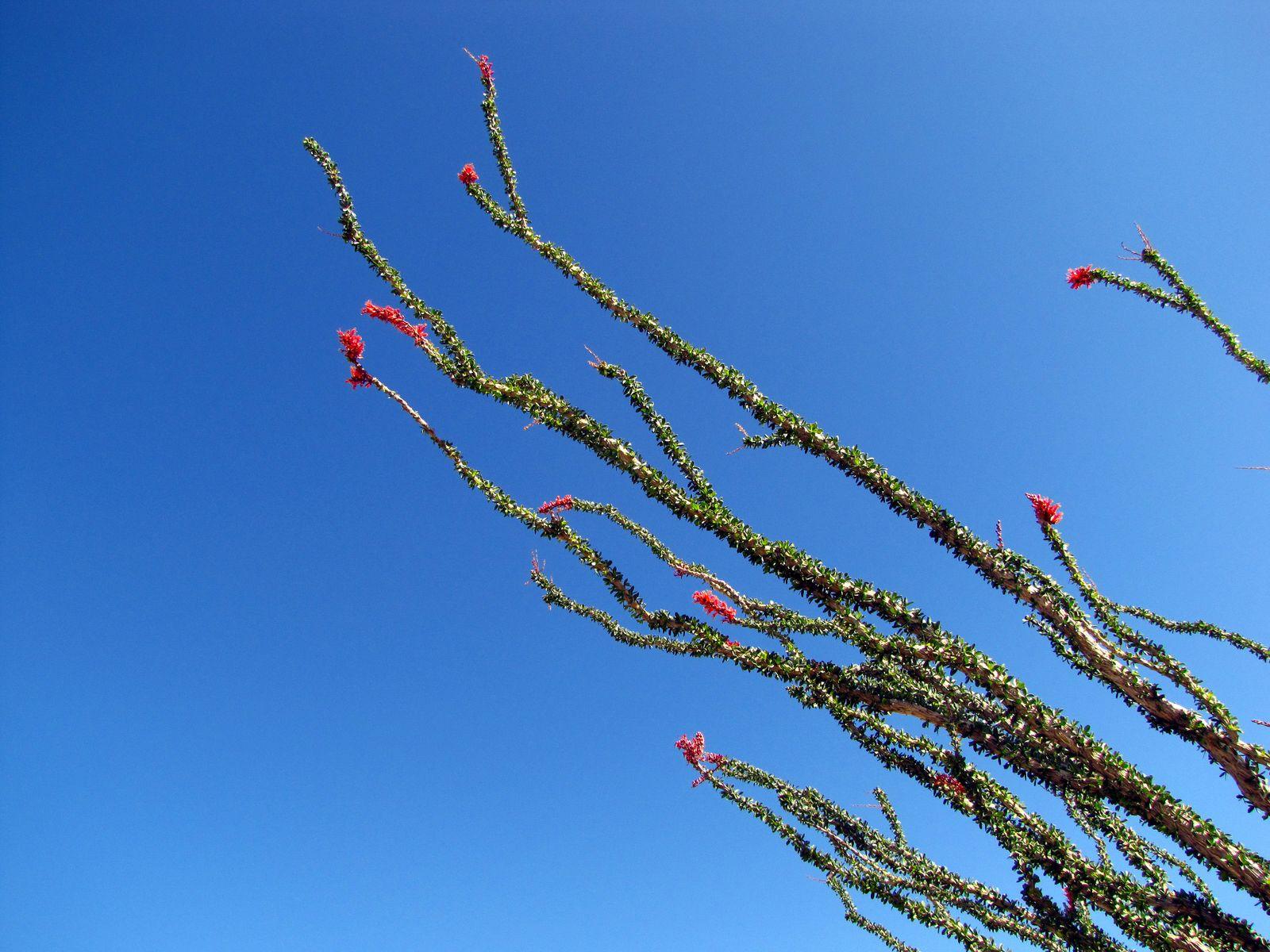 Ocotillo reaching for the blue Desert sky in Mortero Canyon