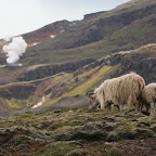 Icelanding sheep - keeping people alive since the year 900-something (tm)