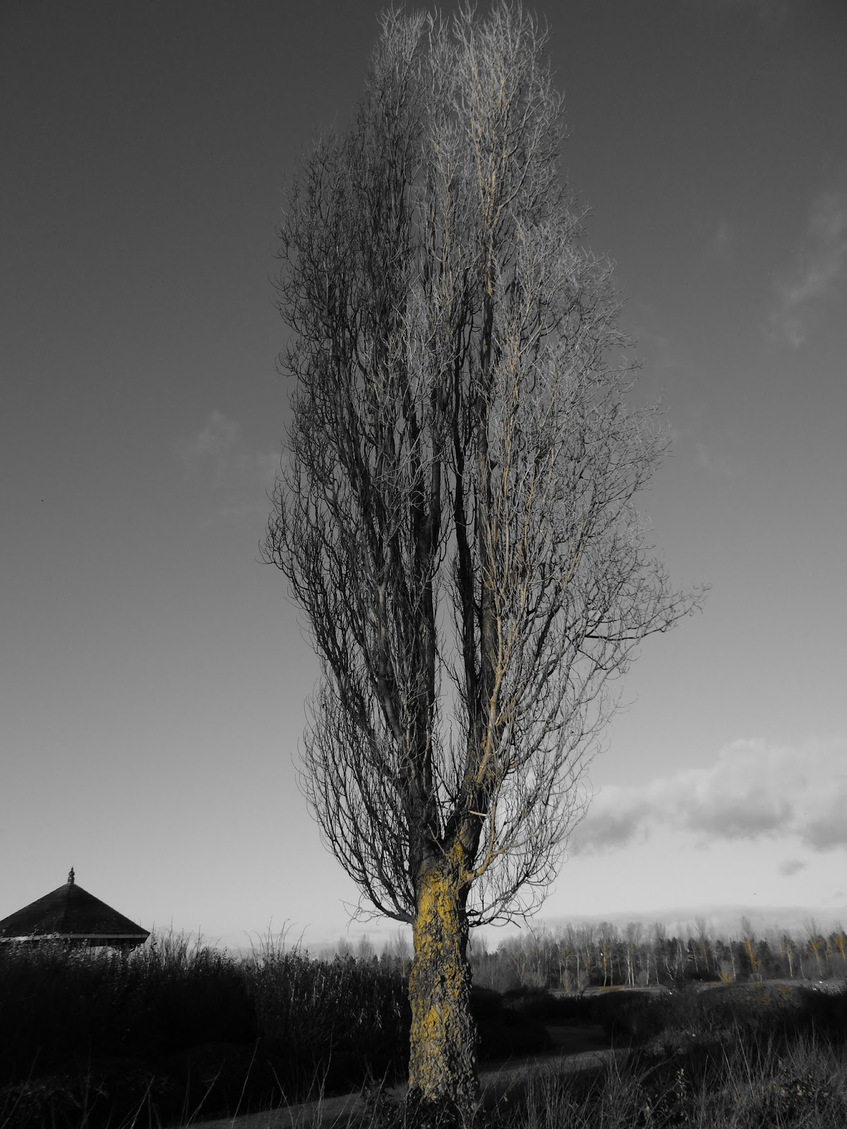 Poplar with Yellow Filter
