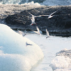 Seagulls are attracted to the fish displaced by the ice