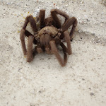 Tarantula appeared to be sleeping but we think it was a defensive tactic