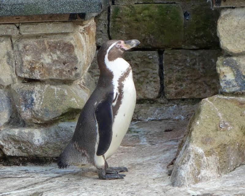 Penguin at Harewood House gardens, Leeds, UK, July 2014. Photo by Ven. Roger Kunsang.