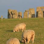Stonehenge sheep