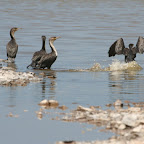 Cormorants in the desert