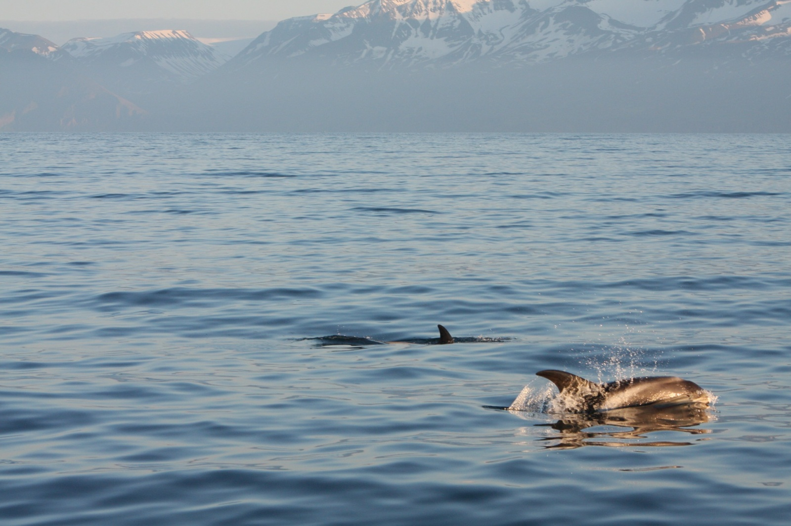 Arctic dolphins are more friendly than blue whales