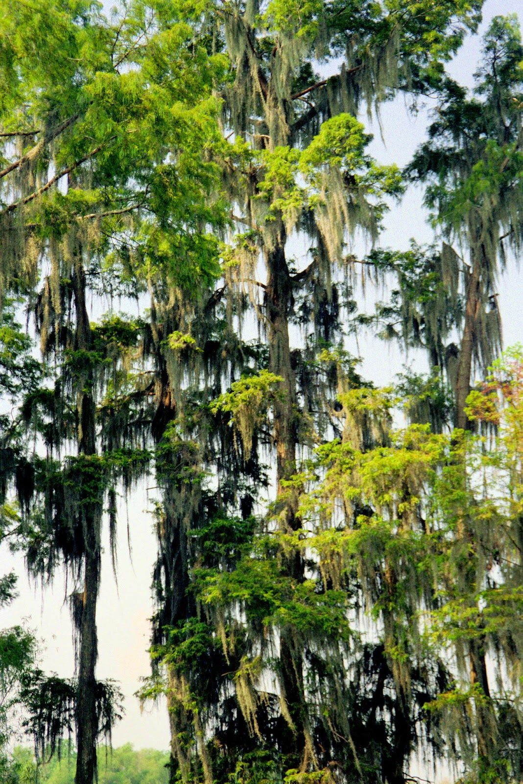 Trees with Draped Moss