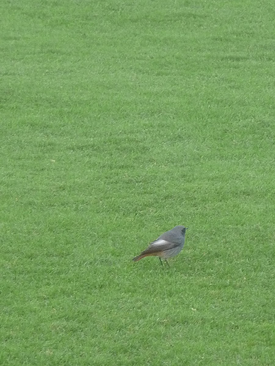 Black redstart on the lawn