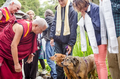 Lama Zopa Rinpoche greets students' dogs when arriving to Land of Medicine Buddha, California, September 21, 2013. Photo by Chris Majors.