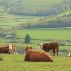 Cadbury's cows