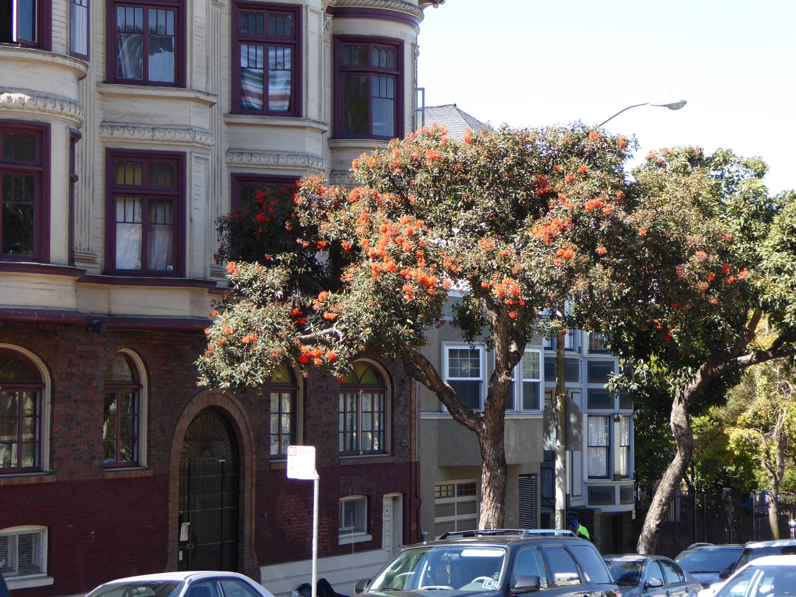 Puhutakawa tree in San Francisco