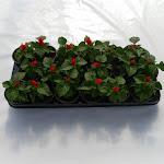 Salvia rood