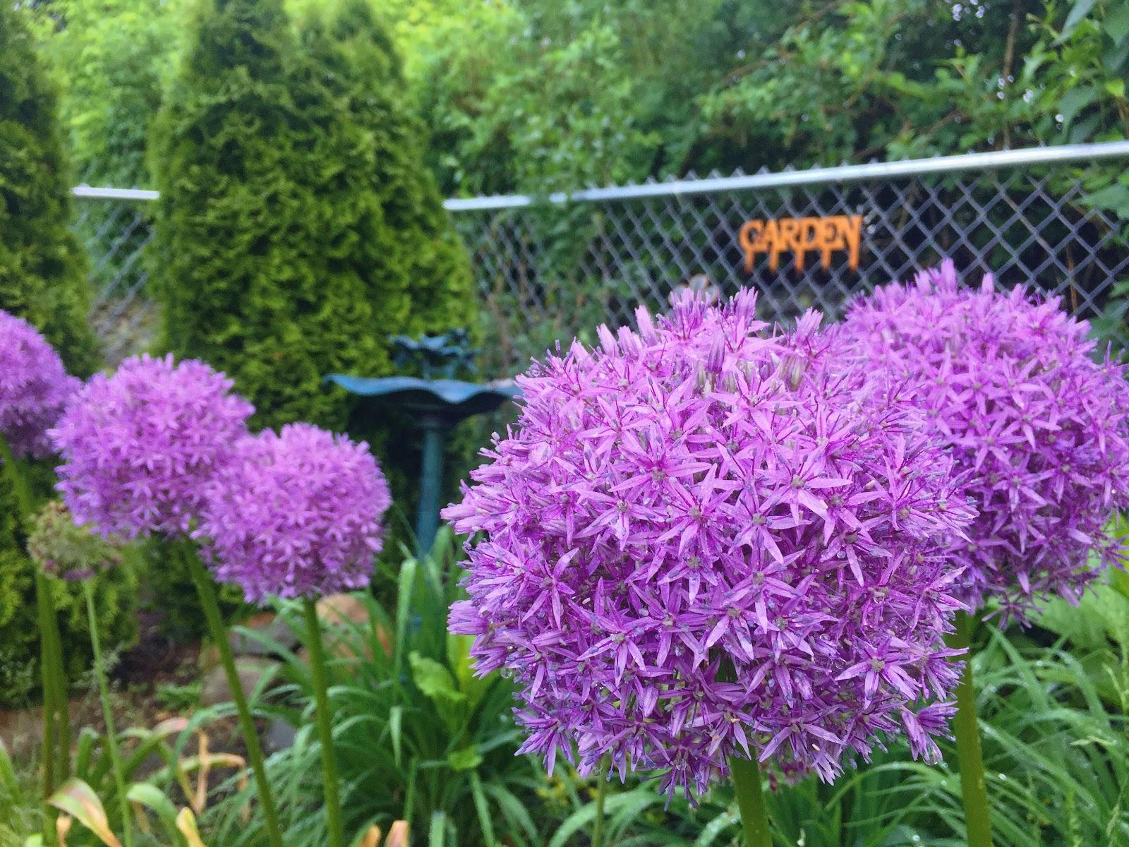 My backyard allium garden and bird bath - May 26 2017