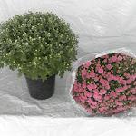 Bolchrysant paars, stadium 1 en stadium 3