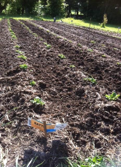 Le champ de patates de 2011