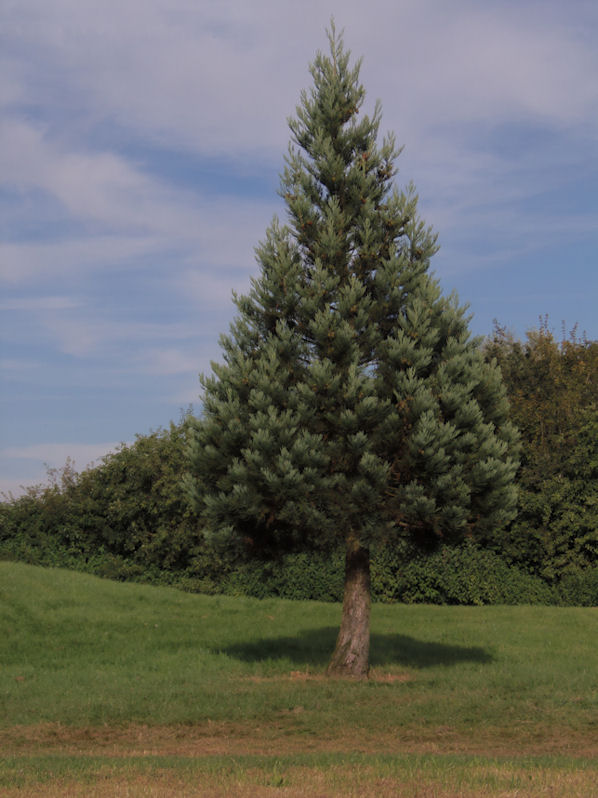 Conical Tree