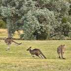 Chasing the Roos, how Aussies call em