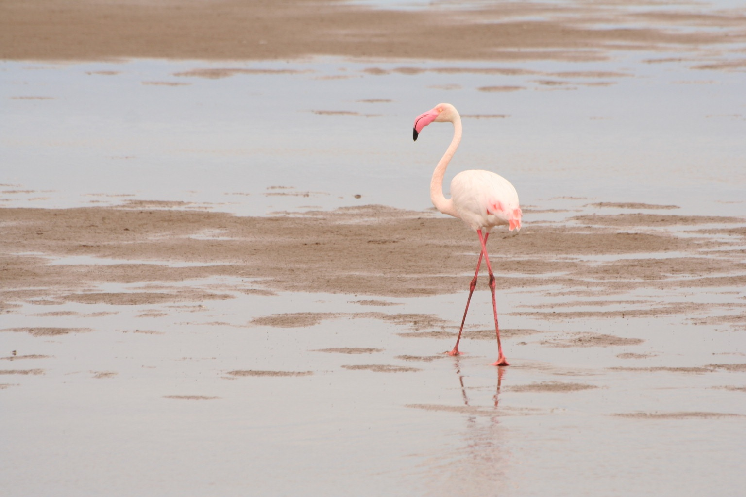 Glorious flamingo