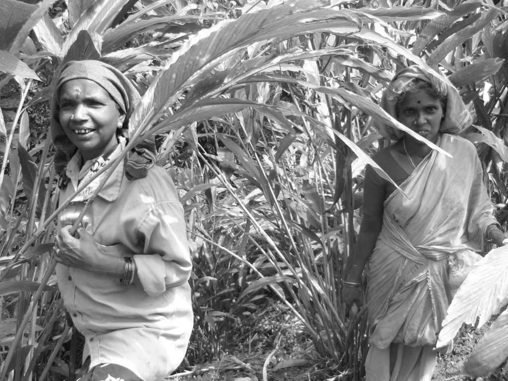 Workers of cardamom plantation
