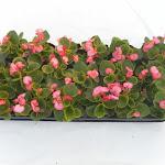 Begonia lichtbladig roze