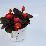Begonia dokerbladig rood