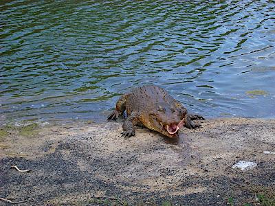 Koorana Saltwater Crocodile Farm