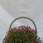 Bolchrysant paars in hengselmand