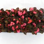 Begonia donkerbladig roze