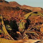 Welwitchia Mirabilis - prehistoric plant