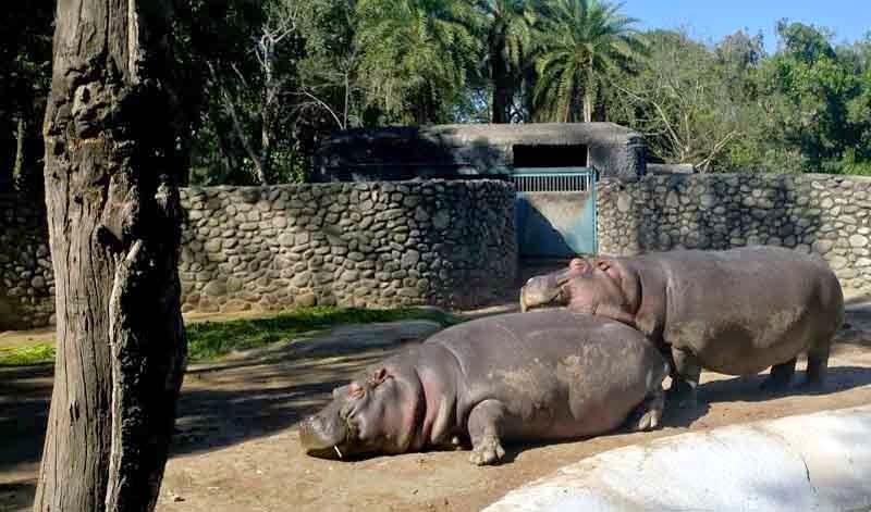 Hippopotamus in Chandigarh Zoo