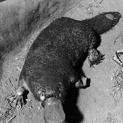Portrait of a platypus, o...