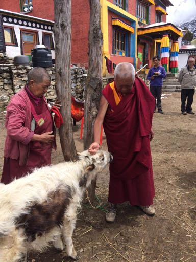 Lama Zopa Rinpoche with his sister Ani Ngawang Samten blessing a cow at Lawudo Retreat Centre, Nepal, April 2015. Photo by Harry Sutton.