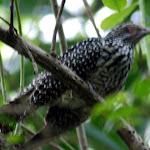 Uncertain. A cuckoo of some sort, perhaps. Plaintive Cuckoo maybe? Mangrove swamp at Pasir Ris.