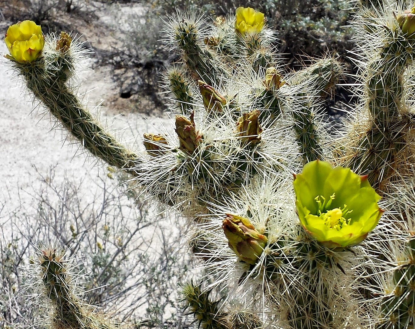 Gander's Cholla. Look but don't touch :)