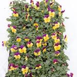 Cornuta paars/geel