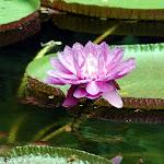 Lotus, post-opening