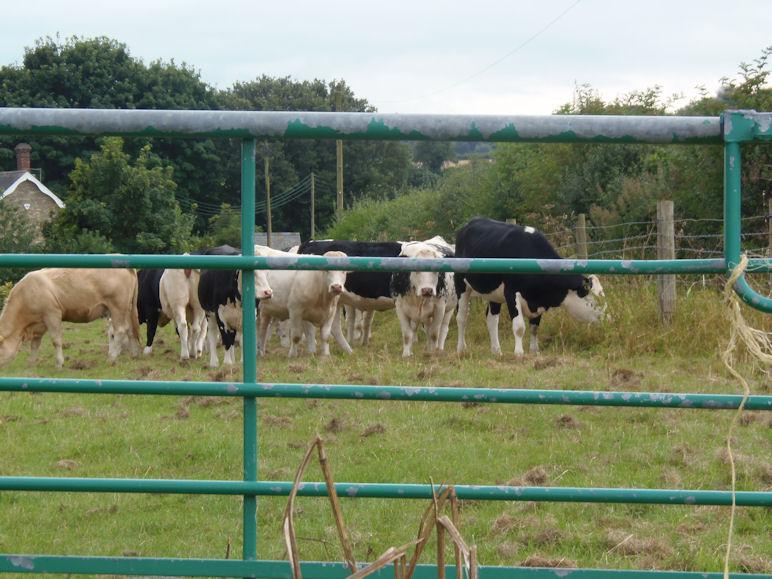 Aggresive Cows