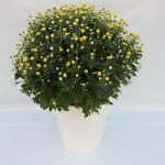 Gele bolchrysant in witte stenen pot