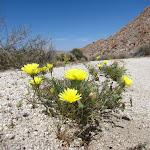 Desert Dandelion near Torote Canyon