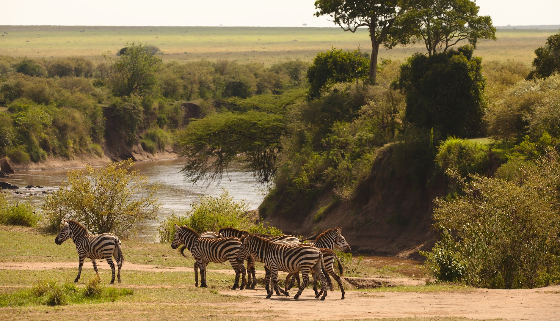 These zebras have already crossed the Mara river