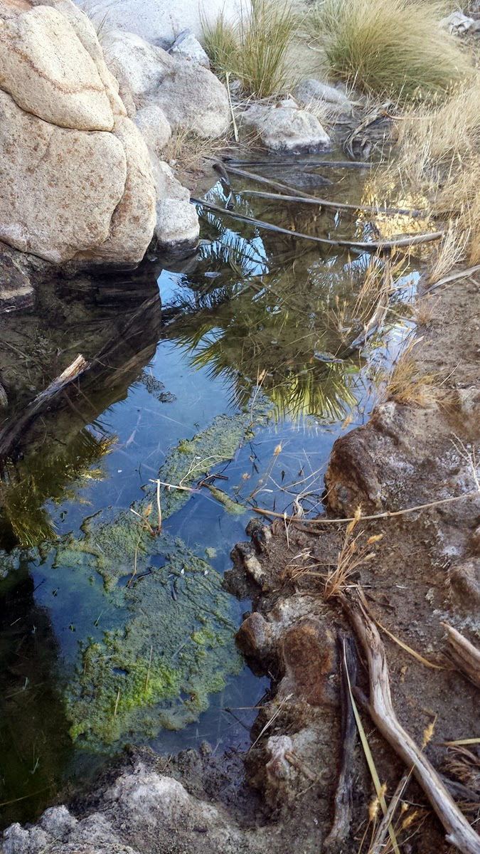 Plenty of water below the palms full of tiny tadpoles and water bugs.